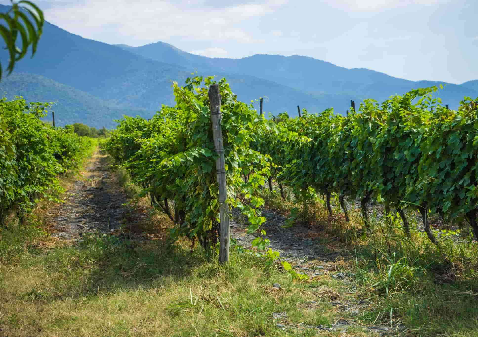 Грузия, Виноградники, Красное вино, Виноград
