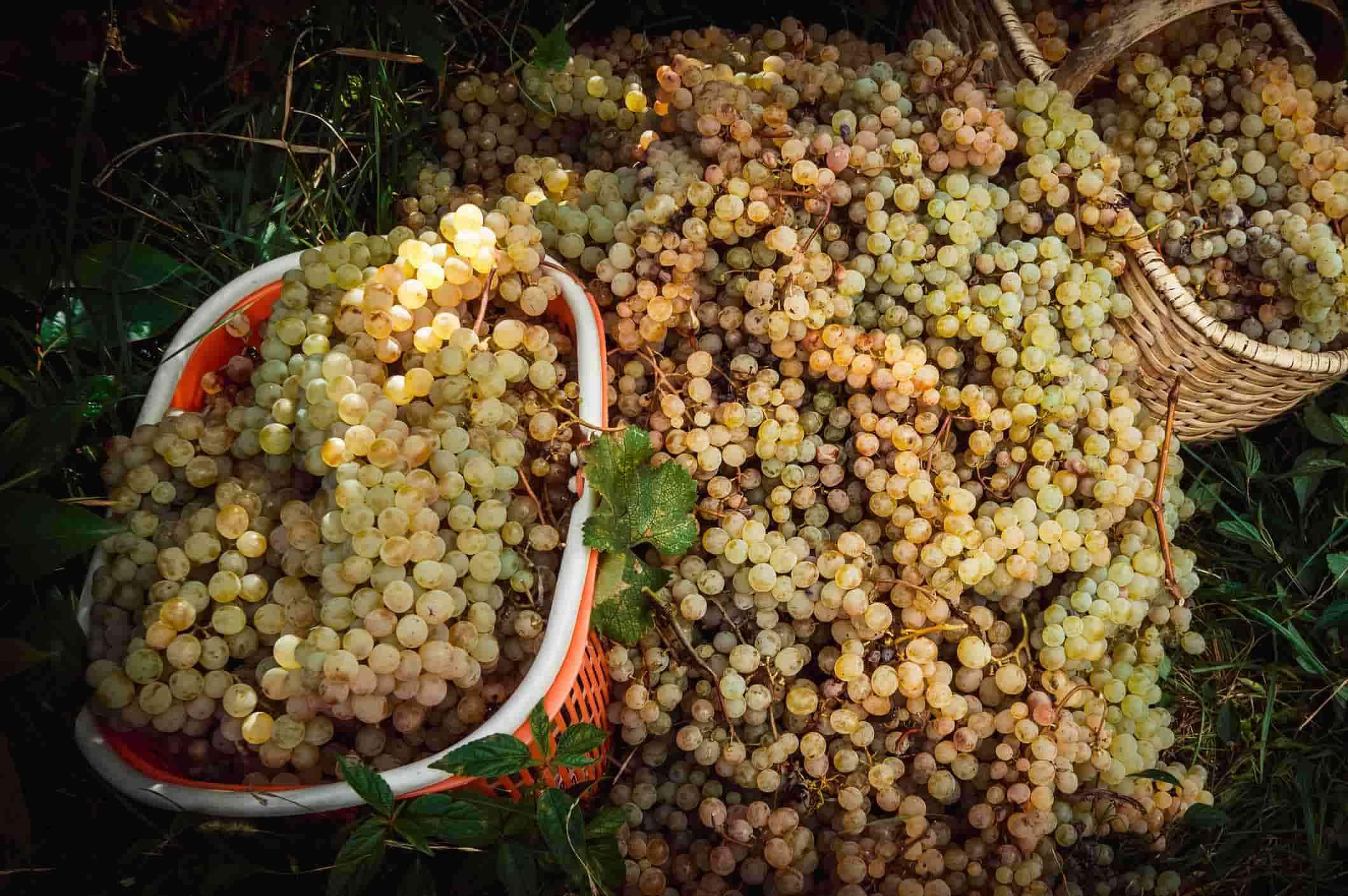 Белое вино, виноградники, виноград, грузия