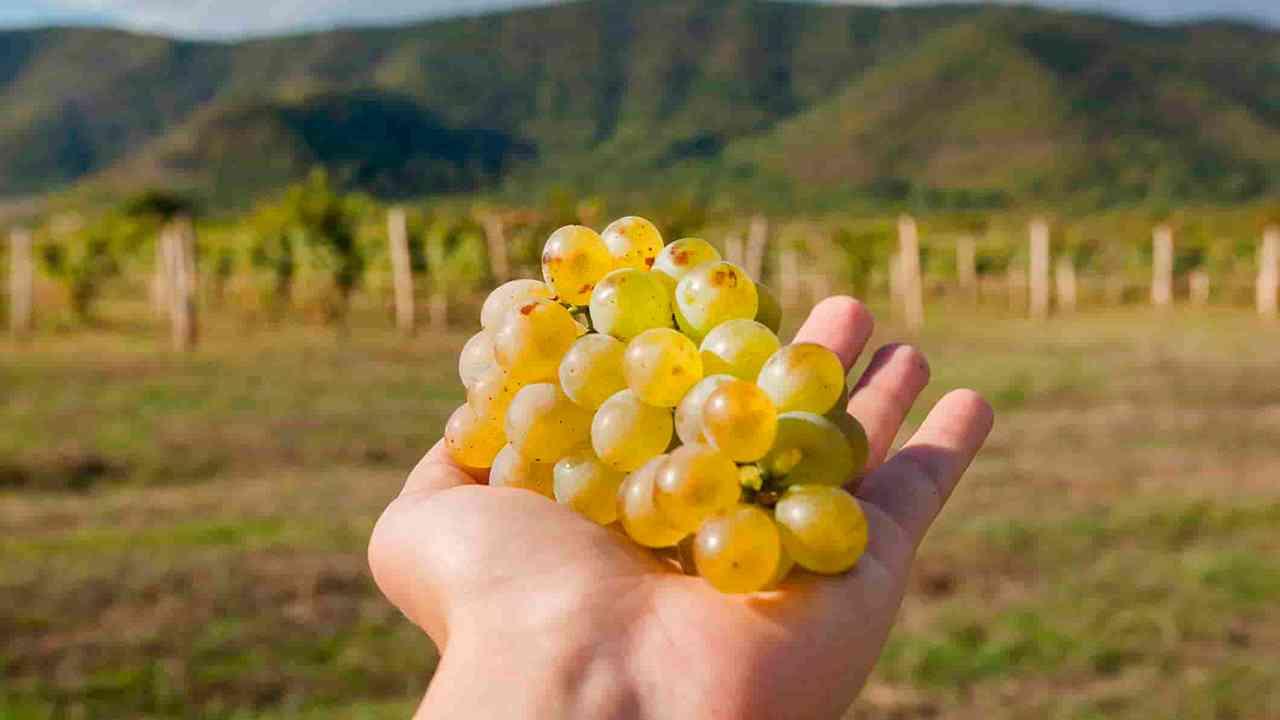 Грузия, виноград, виноградники